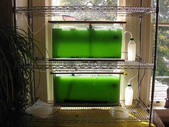 Спирулина как выращивать в домашних условиях